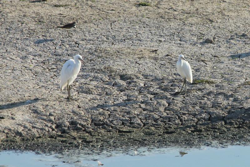 July 22, 2012 (Simpson Lake County Park [water treatment containment pond] / Valley Park, Saint Louis County, Missouri) -- Juvenile Little Blue Herons