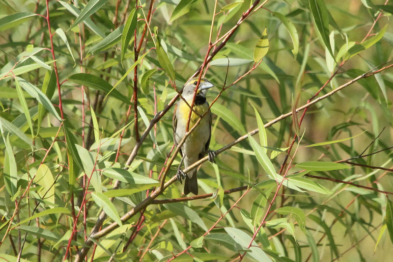 July 15, 2012 (Bellefontaine Conservation Area [fishing pond trail] / Bellefontaine Neighbors, Saint Louis County, Missouri) -- Dickcissel