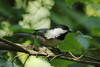 August 22, 2012 (Parkway Central High School [on wooded trail] / Chesterfield, Saint Louis County, Missouri) -- Carolina Chickadee