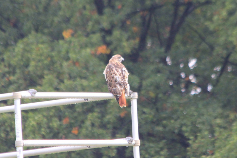 September 26, 2012 (Parkway Central High School [marching band practice field] / Chesterfield, Saint Louis County, Missouri) -- Red-tailed Hawk on Marching Band bandstand