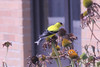 July 3, 2012 (Parkway Central High School [outside library services] / Chesterfield, Saint Louis County, Missouri) -- American Goldfinch