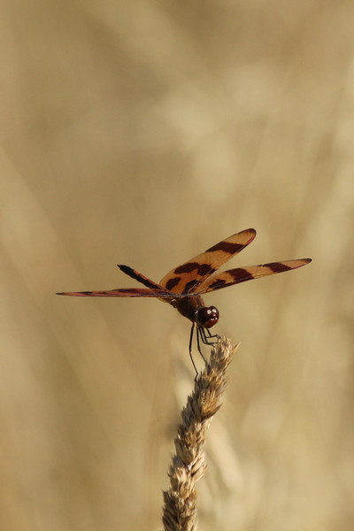 July 21, 2012 (Bellefontaine Conservation Area [fishing pond trail] / Bellefontaine Neighbors, Saint Louis County, Missouri) -- Halloween Pennant Dragonfly