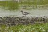 August 4, 2012 (Clarence Cannon National Wildlife [fluddle near gravel road] / Annada, Pike County, Missouri) -- Spotted Sandpiper