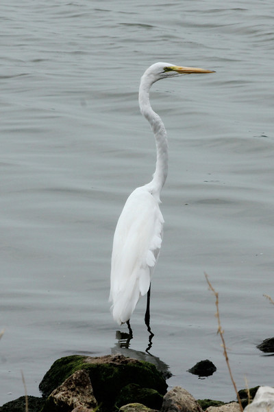July 30, 2012 (Horseshoe Lake State Park [Lake Drive] / Pontoon Beach, Madison County, Illinois) --  Great Egret