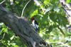 September 23, 2012 (August Busch Conservation Area [Pinetum Trail] / Weldon Springs, Saint Charles County, Missouri) -- Red-headed Woodpecker