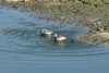 July 28, 2012 (Simpson Lake County Park [water treatment containment pond] / Valley Park, Saint Louis County, Missouri) -- Stilt Sandpipers