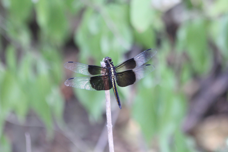 July 2, 2012 (Parkway Central High School [under radio tower] / Chesterfield, Saint Louis County, Missouri) -- Male Burmeister Widow Skimmer Dragonfly