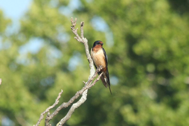 July 22, 2012 (Simpson Lake County Park [near pavilion] / Valley Park, Saint Louis County, Missouri) -- Barn Swallow