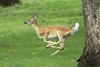 September 3, 2012 (Rockwoods Reservation [near visitor center], Wildwood, Saint Louis County, Missouri) -- Deer