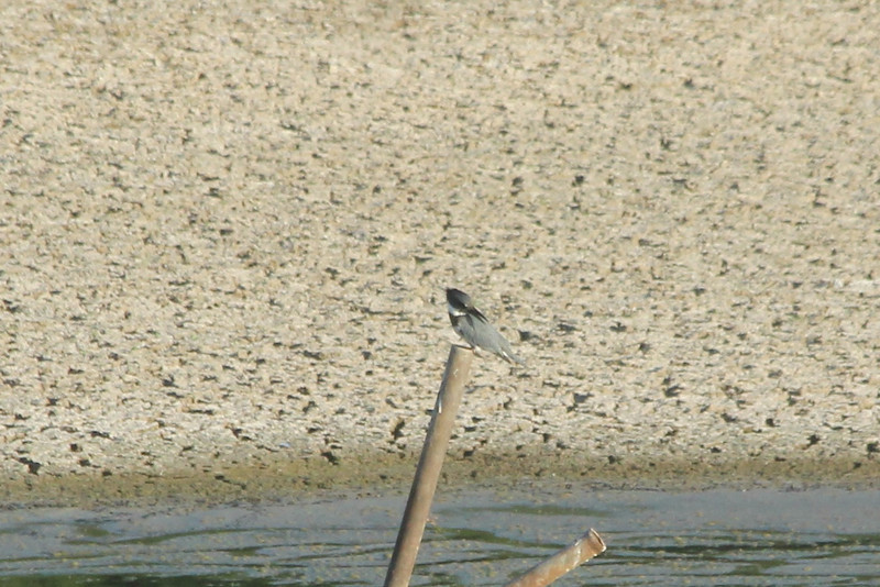 July 22, 2012 (Simpson Lake County Park [water treatment containment pond] / Valley Park, Saint Louis County, Missouri) -- Belted Kingfisher