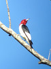 Red-headed Woodpecker @ Cuiver Island CA