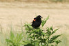 July 29, 2012 (Riverlands Migratory Bird Sanctuary [near Heron Pond] / West Alton, Saint Charles County, Missouri) -- Male Red-winged Blackbird