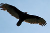 September 25, 2012 (Shaw Nature Reserve [over Bascom House] / Franklin County, Missouri) -- Turkey Vulture