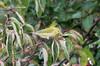 Tennessee Warbler @ Blue Grosbeak Trail