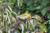 Tennessee Warbler @ Blue Grosbeak Trail