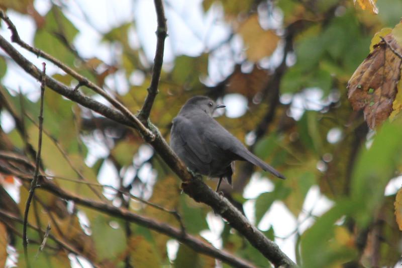 September 26, 2012 (Parkway Central High School [under radio towers] / Chesterfield, Saint Louis County, Missouri) -- Gray Catbird