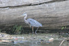 August 28, 2012 (Simpson Lake County Park [near pavilion and fishing pier] / Valley Park, Saint Louis County, Missouri) -- Great Blue Heron