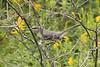 Northern Mockingbird @ Blue Grosbeak Trail