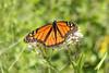 August 10, 2012 - (Portage Des Sioux Nature Area / Portage des Sioux, Saint Charles County, Missouri) -- Monarch Butterfly