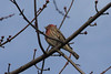 December 16, 2012 (Columbia Bottom Conservation Area [boat-ramp parking lot] / Spanish Lake, Saint Louis County, Missouri) -- House Finch