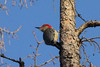 December 22, 2012 (Faust County Park [over Music School] / Chesterfield, Saint Louis County, Missouri) -- Red-bellied Woodpecker