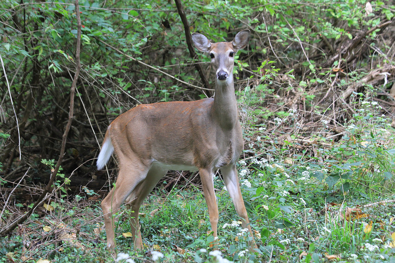 October 1, 2012 (Parkway Central High School [wooded trail] / Chesterfield, Saint Louis County, Missouri) -- Deer