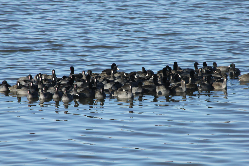 October 20, 2012 (Riverlands Migratory Bird Sanctuary [Ellis Bay] / West Alton, Saint Charles County, Missouri) -- raft of American Coots