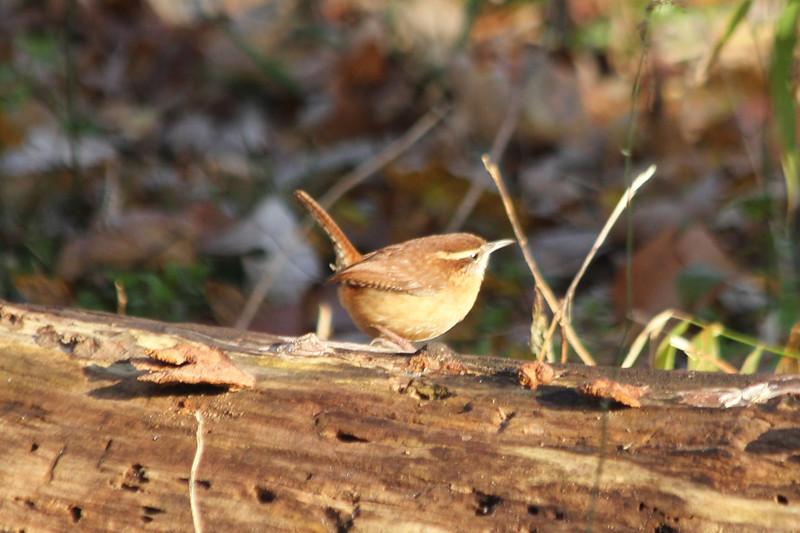 November 17, 2012 - (Castlewood State Park [Merimac River Trail] / Ballwin, Saint Louis County, Missouri) -- Carolina Wren