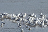 December 16, 2012 (Columbia Bottom Conservation Area [from observation platform] / Spanish Lake, Saint Louis County, Missouri) -- Herring Gull surrounded by many smaller Ring-billed Gulls