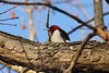 December 11, 2012 (Shaw Nature Reserve [Quarry Road] / Gray Summit, Franklin County, Missouri) -- Red-headed Woodpecker