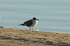 November 18, 2012 (Lake Carlyle [South Beach] / Carlyle, Clinton County, Illinois) -- Franklin's Gull
