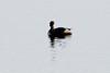 December 16, 2012 (Riverlands Migratory Bird Sanctuary [Ellis Bay] / West Alton, Saint Charles County, Missouri) -- Pied-billed Grebe