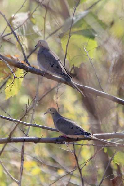 November 2, 2012 (Simpson Lake County Park [water treatment marsh] / Valley Park, Saint Louis County, Missouri) -- Mourning Doves