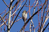 December 11, 2012 (Shaw Nature Reserve [near Bascom House] / Gray Summit, Franklin County, Missouri) -- Female Purple Finch