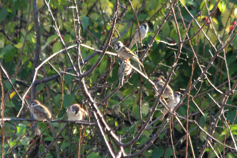 October 25, 2012 (Parkway Central High School [under radio towers] / Chesterfield, Saint Louis County, Missouri) -- Eurasian Tree Sparrow