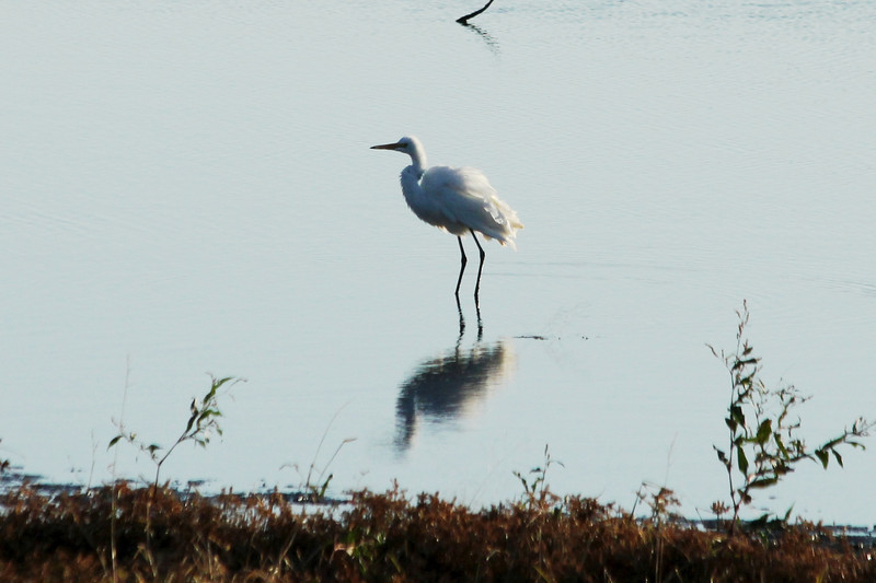 October 27, 2012 (Clarence Cannon National Wildlife Refuge [pond by visitor center] / Annada, Pike County, Missouri) -- Great Egret