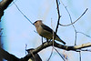 October 29, 2012 (Parkway Central High School [under radio tower] / Chesterfield, Saint Louis County, Missouri) -- Cedar Waxwing
