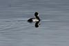 December 16, 2012 (Riverlands Migratory Bird Sanctuary [Ellis Bay] / West Alton, Saint Charles County, Missouri) -- Lesser Scaup with debris on bill