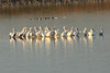 November 25, 2012 (Riverlands Migratory Bird Sanctuary [Teal Pond] / West Alton, Saint Charles County, Missouri) -- American White Pelicans