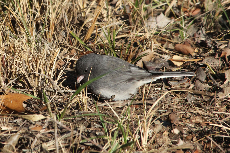 "December 11, 2012 (Shaw Nature Reserve [near Bascom House] / Gray Summit, Franklin County, Missouri) -- ""Slate-colored"" Dark-eyed Junco"