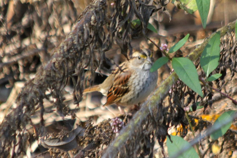 October 26, 2012 (Columbia Bottom Conservation Area [boardwalk at the slough] / Saint Louis County, Missouri) -- White-throated Sparrow