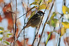 November 16, 2012 (Parkway Central High School [under radio tower] / Chesterfield, Saint Louis County, Missouri) -- Eurasian Tree Sparrow