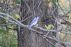 October 16, 2012 (Parkway Central High School [beginning of wooded trail] / Chesterfield, Saint Louis County, Missouri) -- Blue Jay