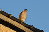 October 27, 2012 (Elsberry [N. Main & W. Lincoln] / Elsberry, Lincoln County, Missouri) -- Cooper's Hawk