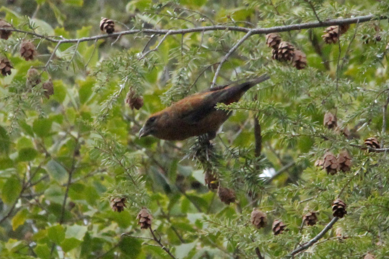 December 1, 2012 (Faust County Park [Hemlocks over Music School] / Chesterfield, Saint Louis County, Missouri) -- Red Crossbill