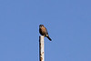 November 12, 2012 (Parkway Central High School [Middle School sports field] / Chesterfield, Saint Louis County, Missouri) -- American Kestrel
