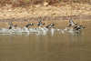 November 3, 2012 - (Lone Elk County Park [lake] / Valley Park, Saint Louis County, Missouri) -- Hooded Mergansers