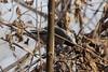 Black-capped Chickadee @ Big Muddy NFWR [Cora Island Unit]