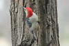 November 26, 2012 ([backyard over Grand Glaize Creek] / Manchester, Saint Louis County, Missouri) -- Red-bellied Woodpecker