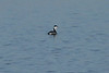 November 17, 2012 (Riverlands Migratory Bird Sanctuary [Ellis Bay] / West Alton, Saint Charles County, Missouri) -- Horned Grebe